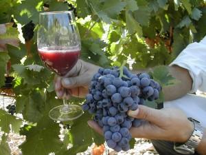 Copa de vino y uva monastrell