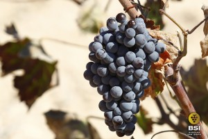 Racimo de uva monastrell