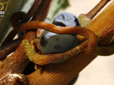 Zarcillo rodeando uva monastrell
